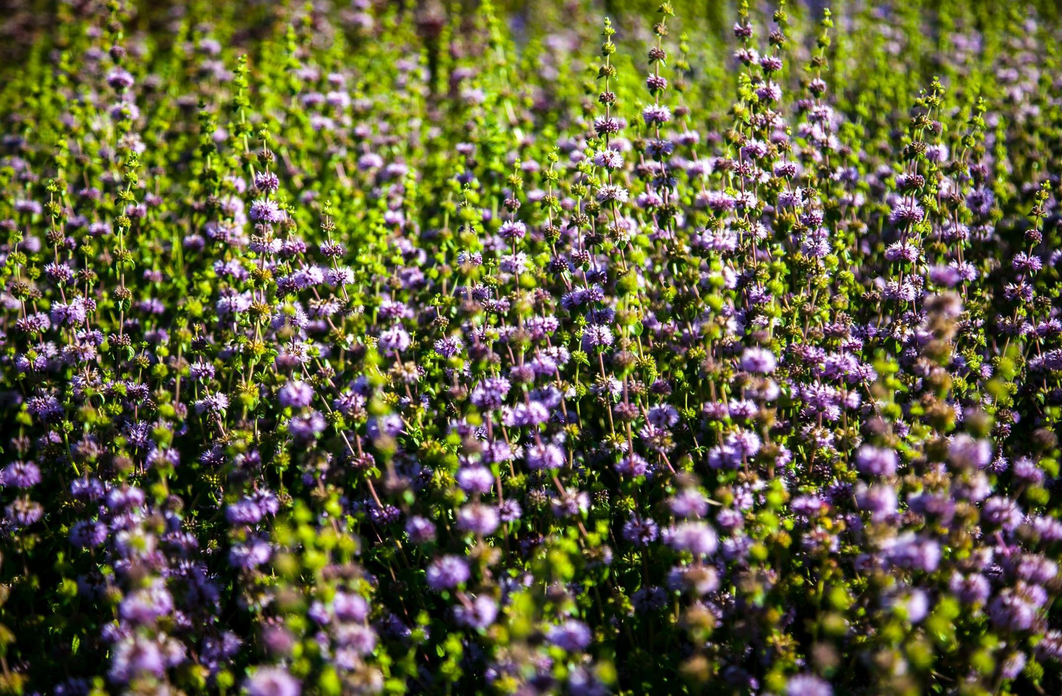 Флора Сиреневого сада