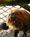 В Московский зоопарк прибыли редкие золотистые тамарины