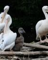 В Московском зоопарке родился пеликан