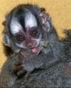 В Московском зоопарке впервые родился детеныш ночной обезьяны