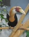 В Московском зоопарке можно познакомиться с птенцом папуанских птиц-носорогов