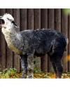 В Московском зоопарке родился альпака Витамин