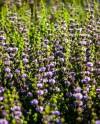 Сиреневый сад в «Сокольниках» превратят в дворцовый парк