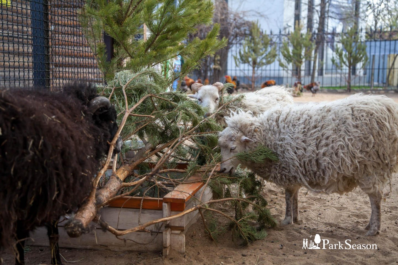 Карликовые овцы уэссан, Московский зоопарк, Москва — ParkSeason
