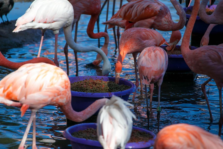 Розовый фламинго, Московский зоопарк, Москва — ParkSeason