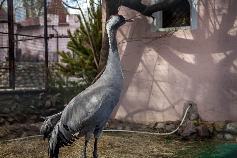 Серый журавль, Московский зоопарк, Москва — ParkSeason