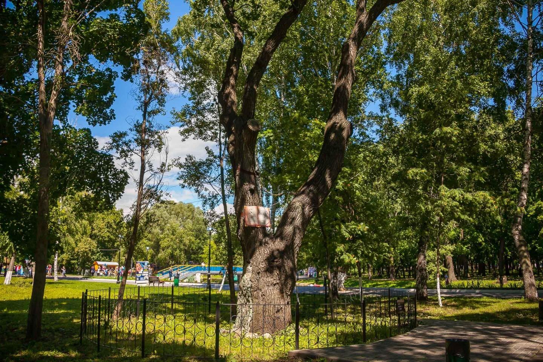 Дуб зеленый — ParkSeason
