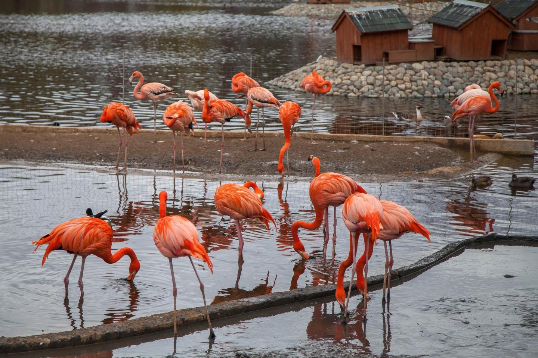 Красный фламинго, Московский зоопарк, Москва — ParkSeason