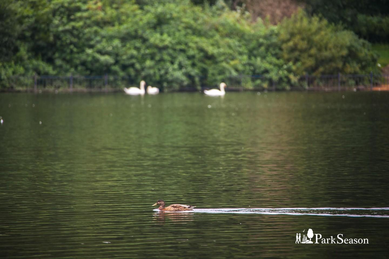 Лебяжий пруд — ParkSeason