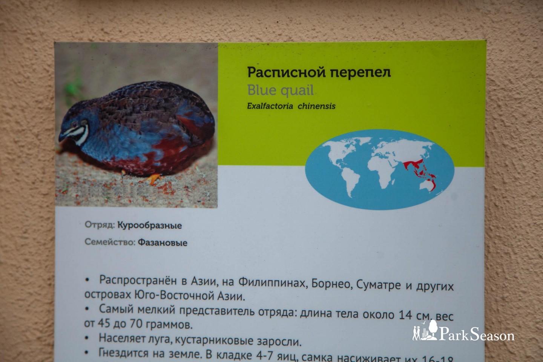 Расписной перепел, Московский зоопарк, Москва — ParkSeason