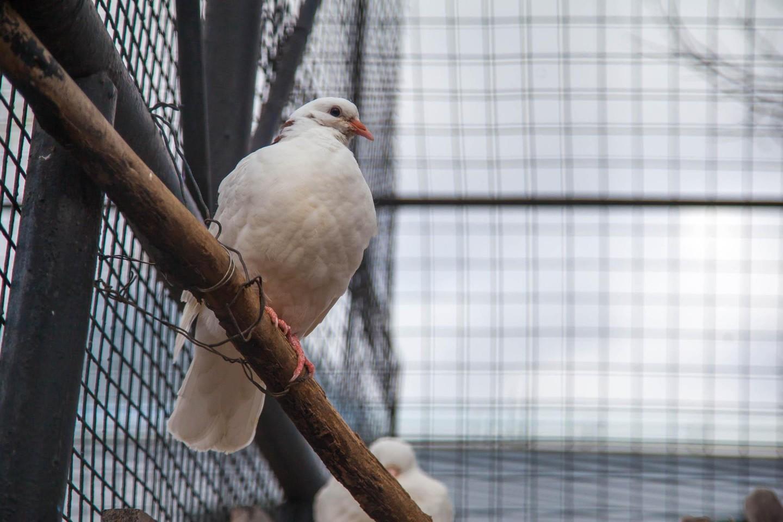 Голуби разных пород, Московский зоопарк, Москва — ParkSeason
