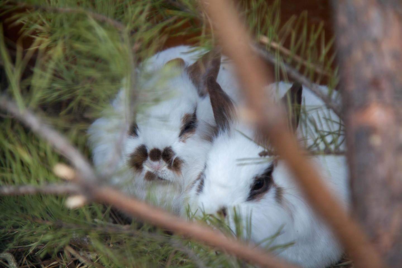Домашний кролик, Московский зоопарк, Москва — ParkSeason
