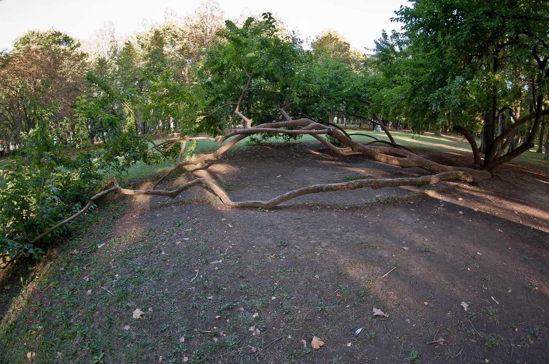 Стелящееся дерево — ParkSeason