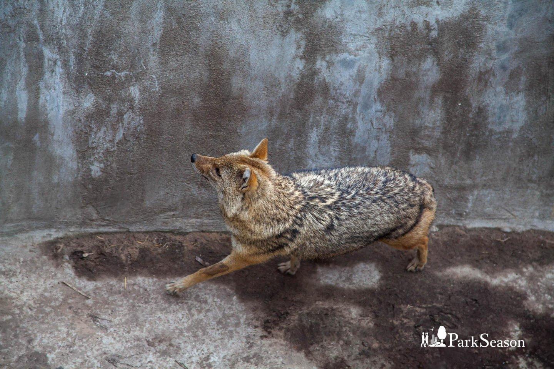 Шакал, Московский зоопарк, Москва — ParkSeason