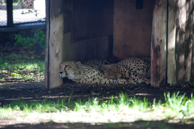 Гепард, Московский зоопарк, Москва — ParkSeason