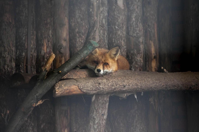 Обыкновенная лисица, Московский зоопарк, Москва — ParkSeason