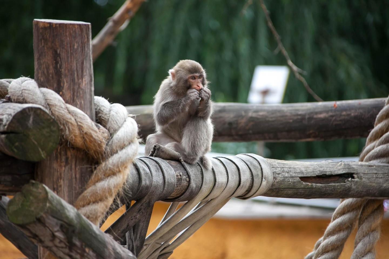 Японский макак, Московский зоопарк, Москва — ParkSeason