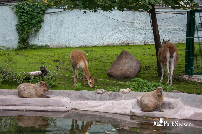 Лама, Московский зоопарк, Москва — ParkSeason
