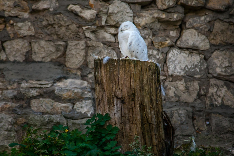 Белая сова, Московский зоопарк, Москва — ParkSeason