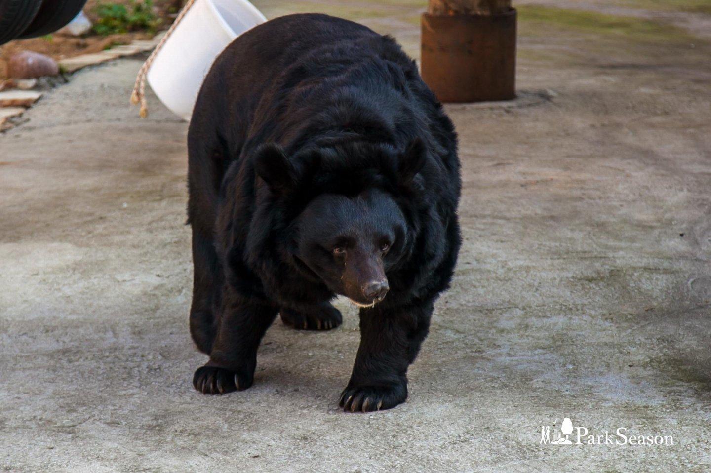Белогрудый уссурийский медведь, Московский зоопарк, Москва — ParkSeason