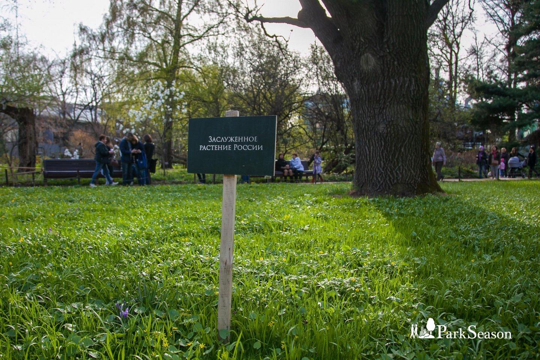 Дуб черешчатый, Аптекарский огород, Москва — ParkSeason