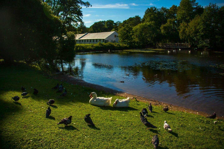 Пруд с лебедями — ParkSeason