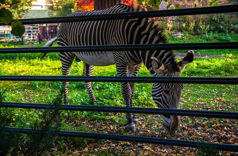 Зебра Греви, Московский зоопарк, Москва — ParkSeason