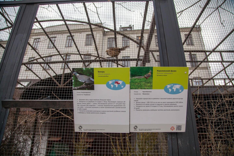 Королевский фазан, Московский зоопарк, Москва — ParkSeason