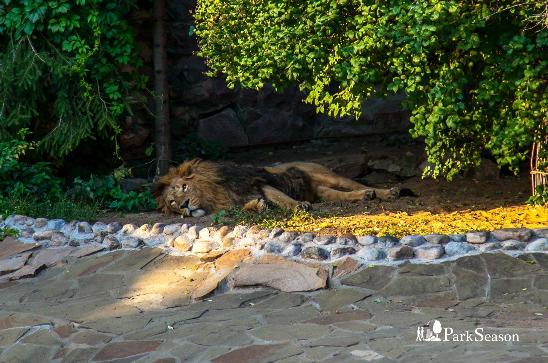 Азиатский лев, Московский зоопарк, Москва — ParkSeason