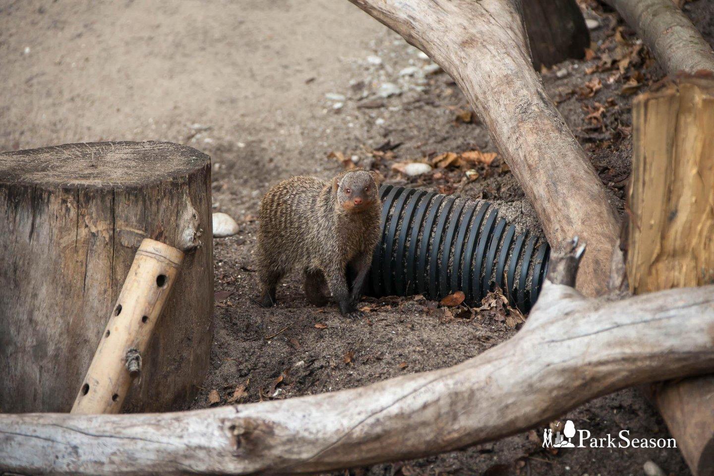 Мангуст, Московский зоопарк, Москва — ParkSeason