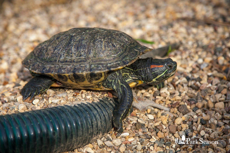 Пруд с красноухими черепахами, Аптекарский огород, Москва — ParkSeason
