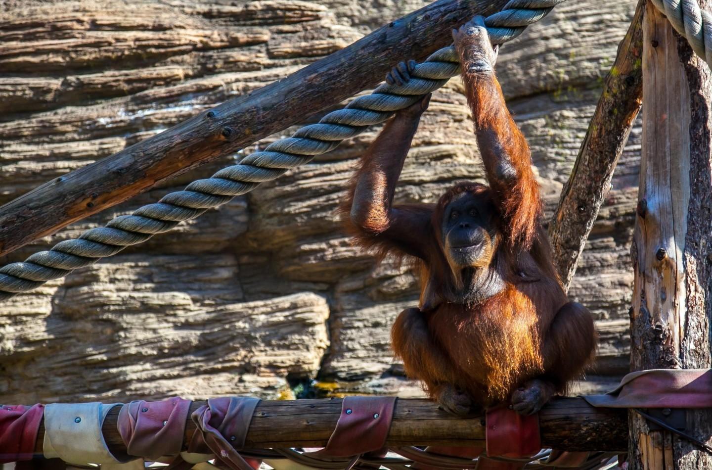 Сумартанский и Бронейский орангутаны, Московский зоопарк, Москва — ParkSeason