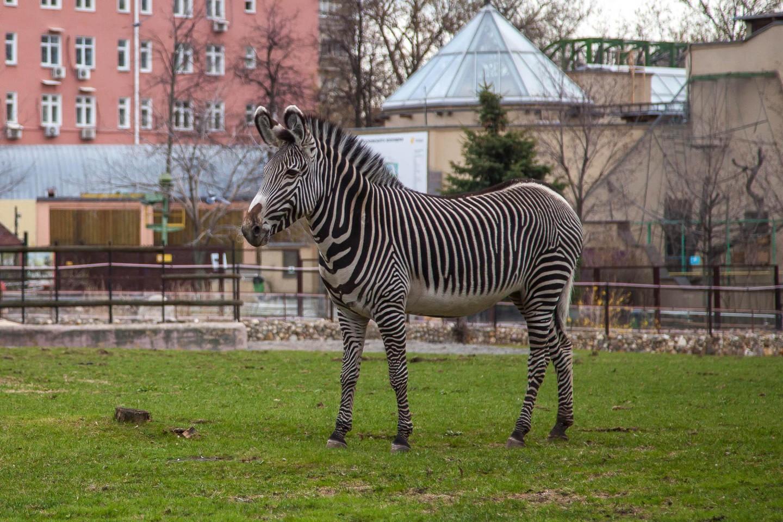 Зебра, Московский зоопарк, Москва — ParkSeason