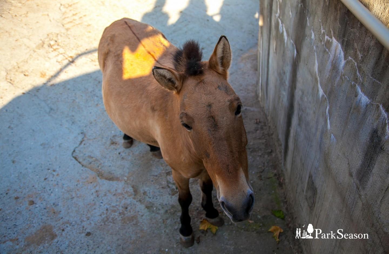 Лошадь Пржевальского, Московский зоопарк, Москва — ParkSeason
