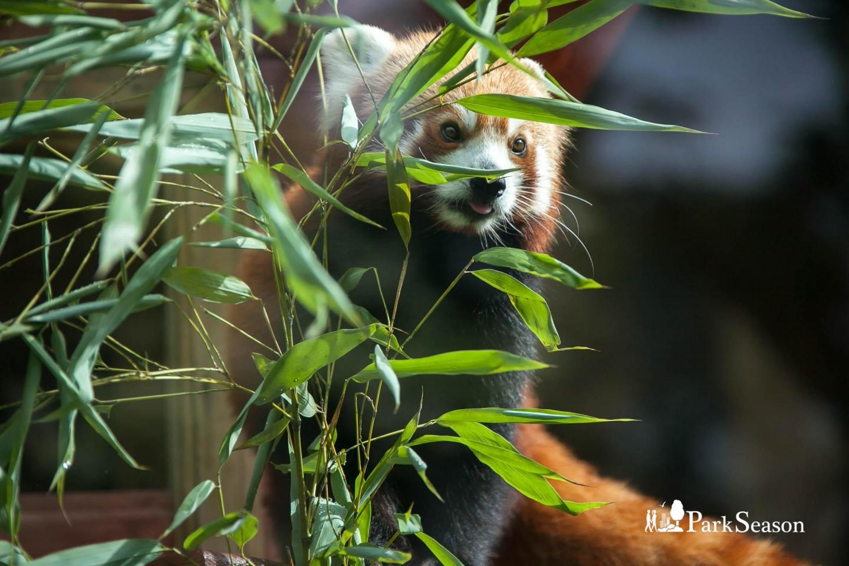 Красная панда, Московский зоопарк, Москва — ParkSeason