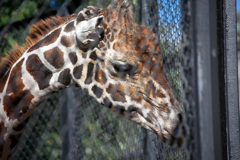 Жираф сетчатый, Московский зоопарк, Москва — ParkSeason