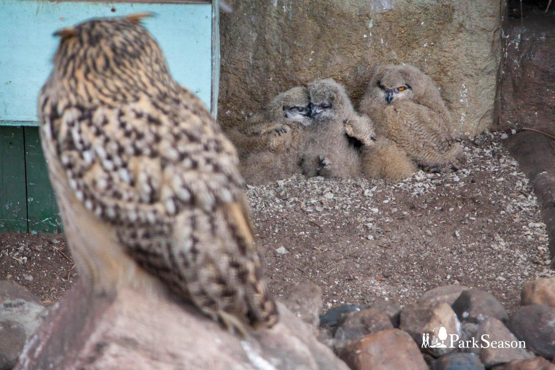 Западно-сибирский филин, Московский зоопарк, Москва — ParkSeason