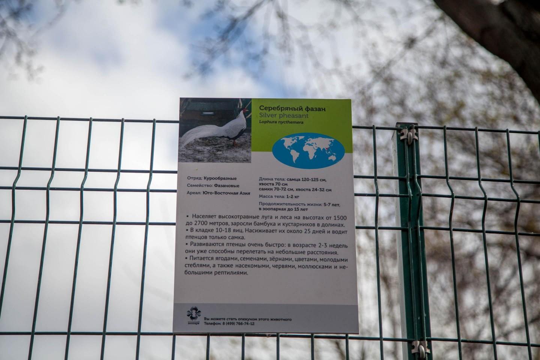 Серебряный фазан, Московский зоопарк, Москва — ParkSeason