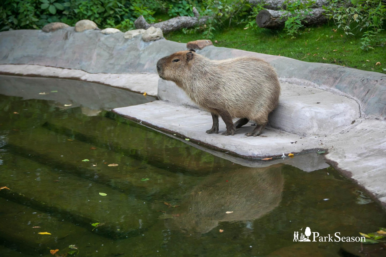 Капибара, Московский зоопарк, Москва — ParkSeason