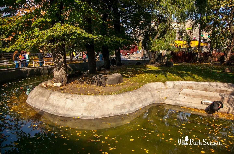 Черный лебедь, Московский зоопарк, Москва — ParkSeason