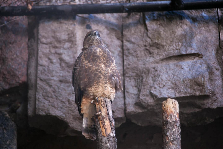 Малый подорлик и канюк, Московский зоопарк, Москва — ParkSeason