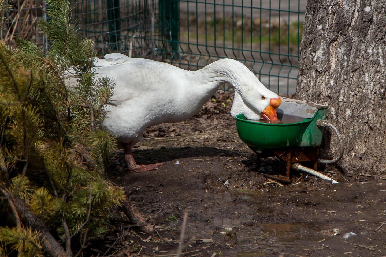 Домашние гуси, Московский зоопарк, Москва — ParkSeason