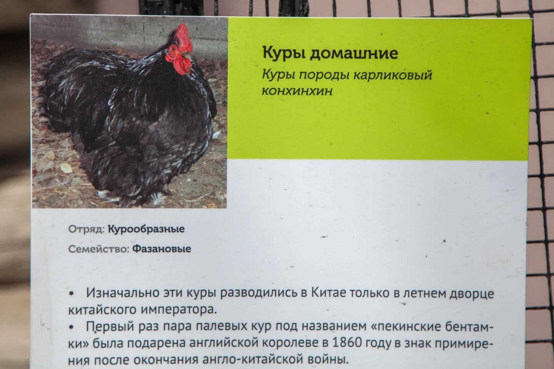 Домашние куры, Московский зоопарк, Москва — ParkSeason