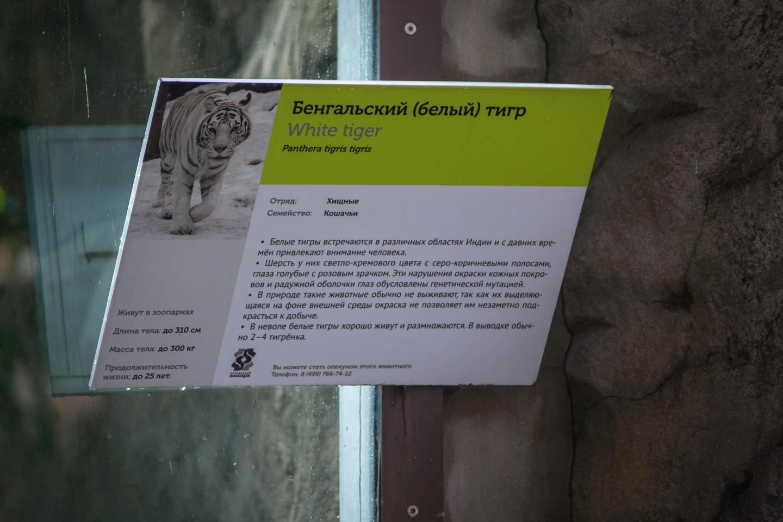Бенгальский (белый) тигр — ParkSeason