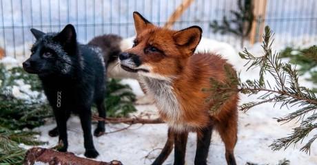 Выставка лис в «Сокольниках»