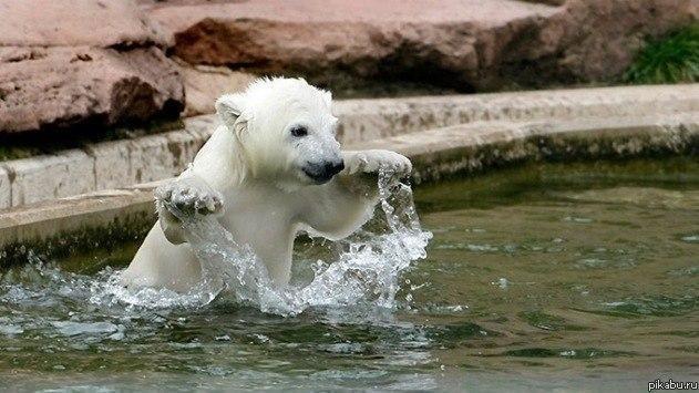 Спасенный на Чукотке белый медвежонок поселился в Московском зоопарке