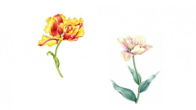 В «Аптекарском огороде»откроется выставка изображений тюльпанов
