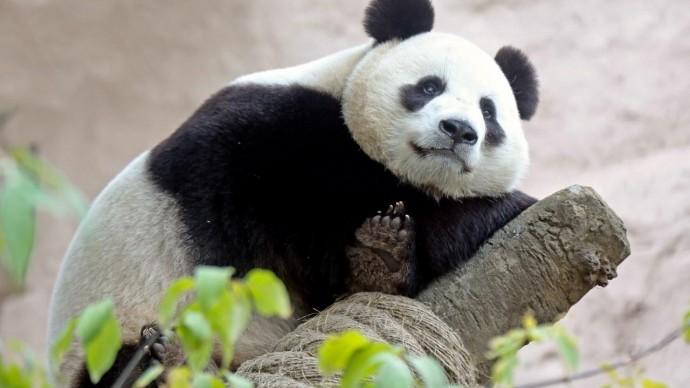 В Московском зоопарке пройдет Всемирный день панд