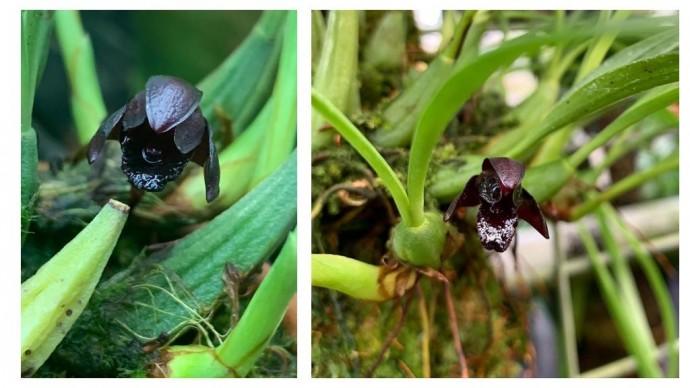 В «Аптекарском огороде» расцвела одна из самых черных орхидей в мире