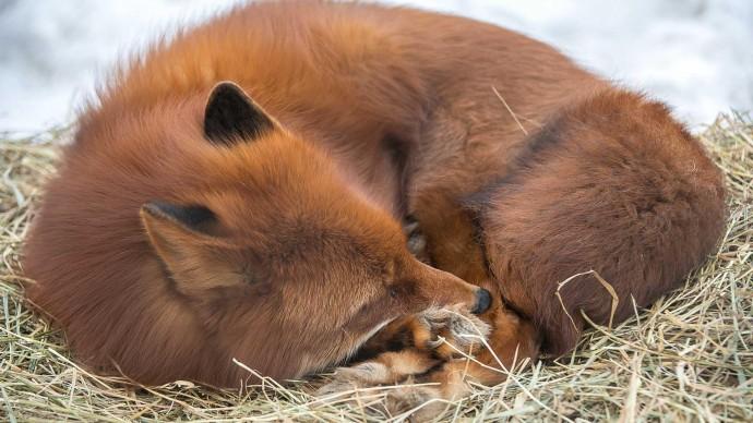 В парке «Сокольники» расскажут о домашних лисах